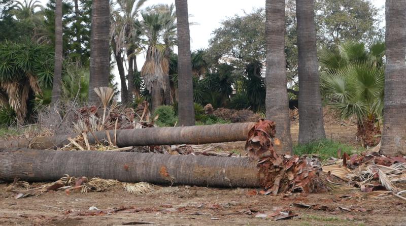 Denuncian la reciente tala de palmeras en San Pedro